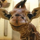 What's with all the giraffe pictures on Facebook?